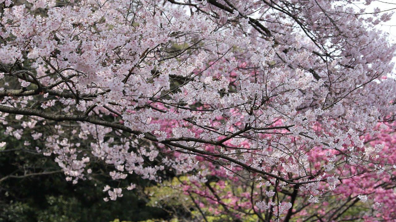 Jadwal Tempat Melihat Sakura Mekar di Jepang 2021