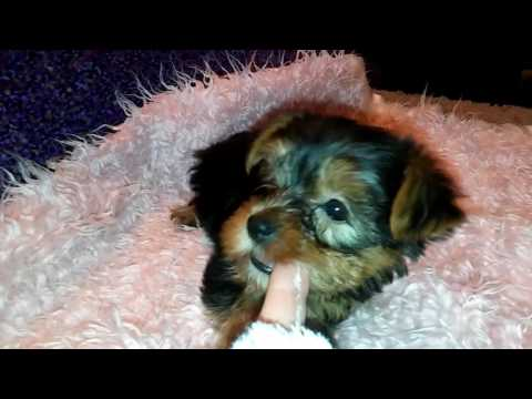 The Faery Dog Mother Yorkies: Delilah's AKC FEMALE Yorkie baby #2