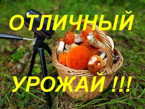 ГРИБЫ 2019. 24 ИЮЛЯ. ОТЛИЧНЫЙ УРОЖАЙ !!!
