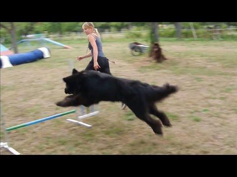agility-mit-neufundländern-am-23.07.2015