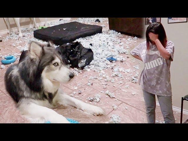 Cobaan tinggal dengan hewan keras kepala