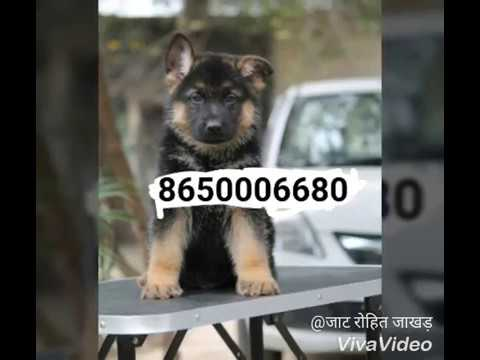 Patna Labrador dog & puppies for sale in Patna Bihar  at 8650006680  || Pet care Patna Bihar  ||