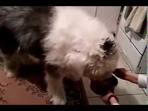 Bobtail dog eats with a spoon