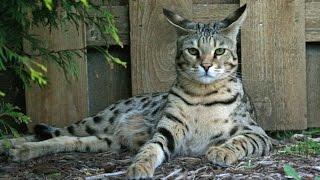 Для детей и взрослых. Однохвостые Мокроносы - Самые дорогие породы кошек. Саванна