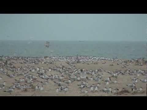 Senegal Saloum Delta Ile des Oiseaux - Capsian Sterns on the beach