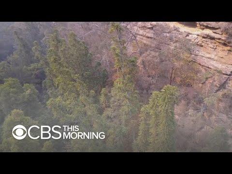 Secret Mission Saves Rare Prehistoric Trees From Australia Bushfires