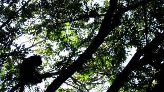 Singe hurleur mâle et son cri