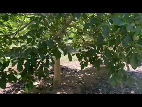 Как получить 3 тонны грецких орехов с гектара на третий год?