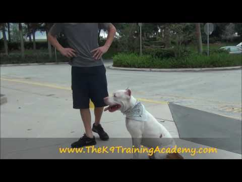 Anakin with Advance Obedience - The K9 Training Academy