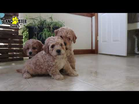 Bichon Mix Puppies