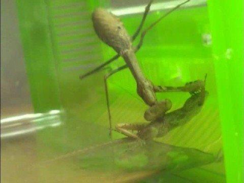 Praying Mantis Eats Lizard Youtube