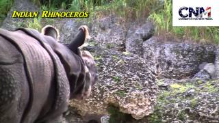 Indian Rhinoceros (Greater One Horned Rhino) - in HD