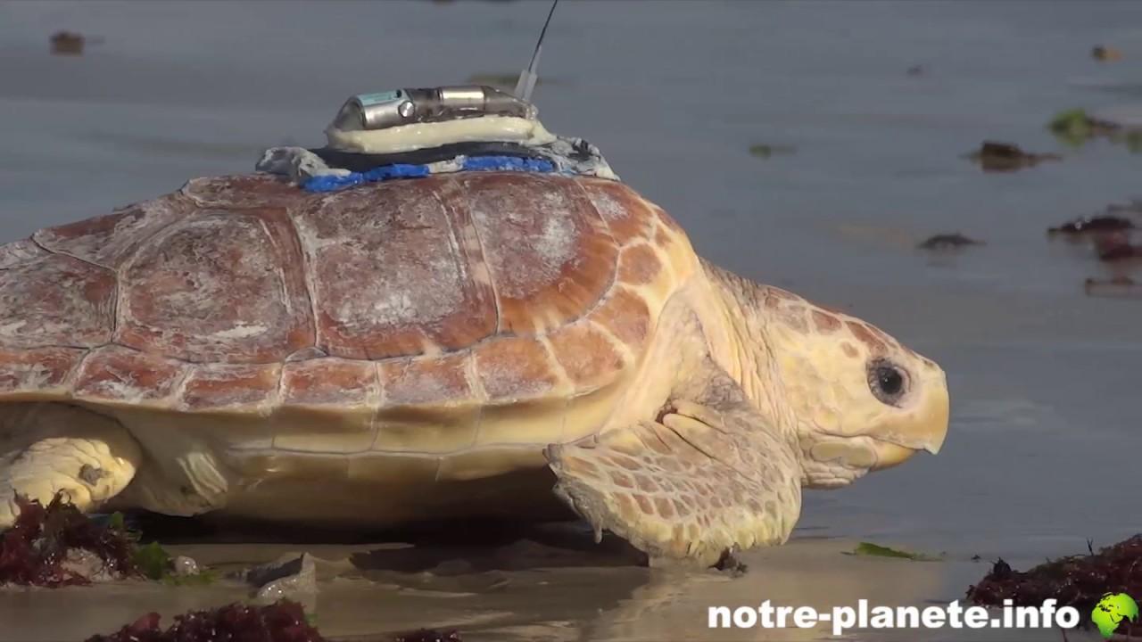 Horia, la jeune tortue Caouanne, reprend le large à l'île de Ré