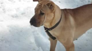 собака шарпей на прогулке в конце мая