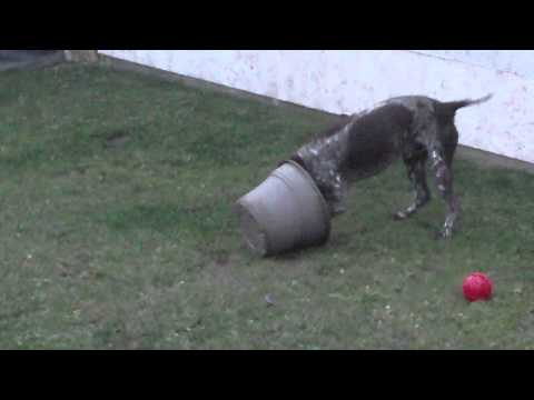 CUTE CRAZY German Shorthaired Pointer-You Won't Believe What He Does With a Flower Pot!