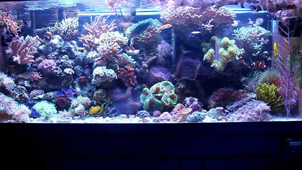 Saltwater fish for 75 gallon coral reef fish aquarium 75 for 75 gallon fish tank dimensions