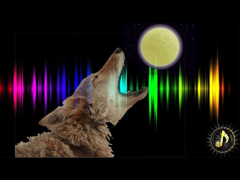 Coyotes Howling at Moon Sound Effect ~ Free Coyote Sounds