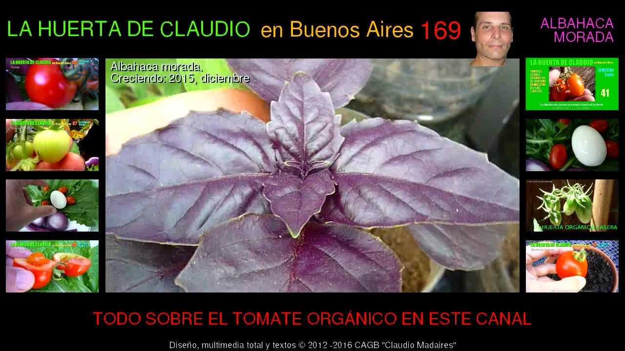 Cultivo de albahaca morada org nica en botellas 2 4 youtube for Cultivo de albahaca en interior