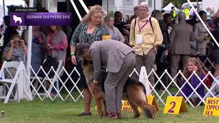 German Shepherd Dogs |  Breed Judging 2021