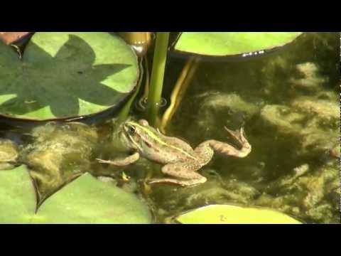 הצפרדעים.mp4