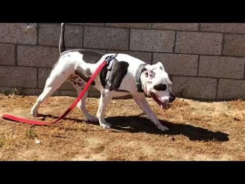 Oregon Pit Bull Rescue - ADOPTIONS - Rescue Me!