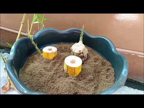 Bamboo Tree Plant Growing In A Pot Fast Method Youtube