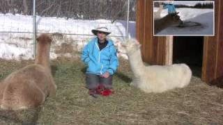 How to Potty Train Alpacas
