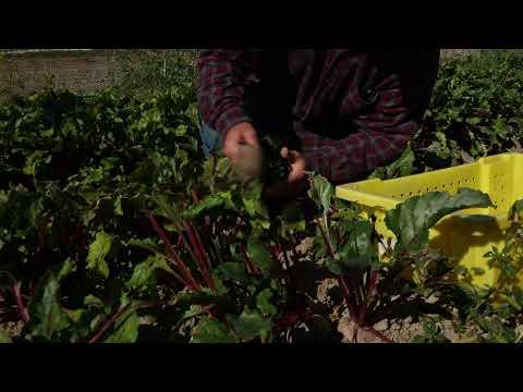 Beet Box: Oxbow Organic Farm