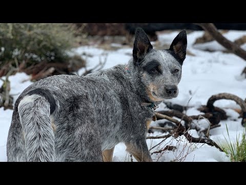 AUSTRALIAN CATTLE DOGS CRAZY CATTLE DOGS? Or NOT? AUSTRALIAN CATTLE DOG