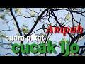 Pikat Cucak Ijo Jozzz  Jebrett Nempel  Mp3 - Mp4 Download