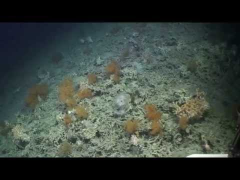 First footage of new Irish deepwater coral reefs