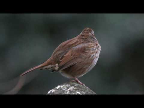 Sparrow - Morning Song 2