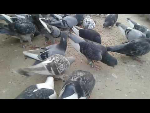 Cins güvercinler ( Çandır güvercinler)