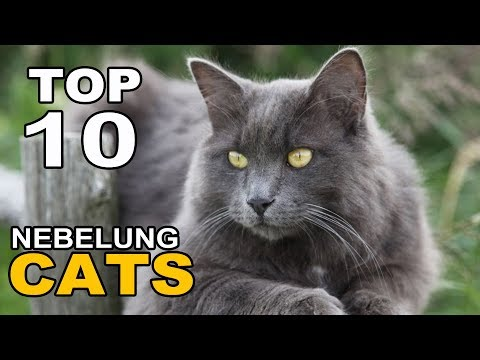 TOP 10 NEBELUNG CATS BREEDS