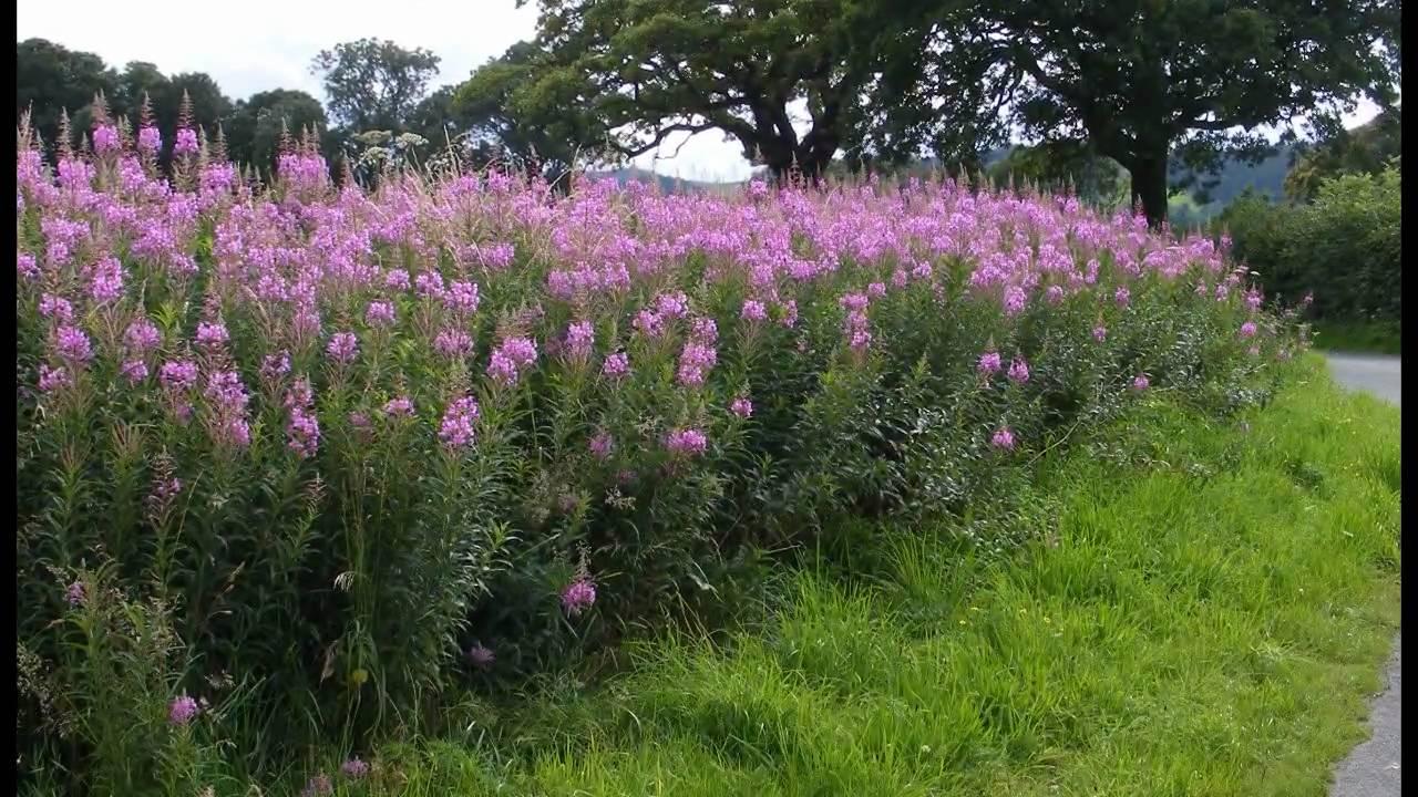 Hedgerow Flowers Of Britain Amp Ireland 1 Youtube