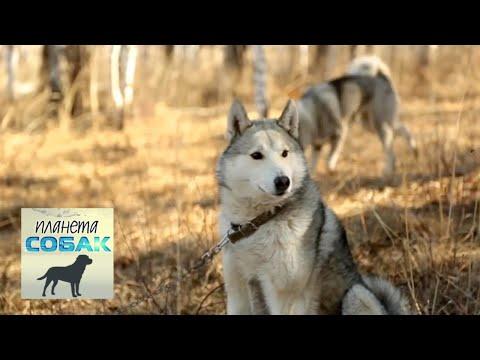 Западносибирская лайка. Планета собак 🌏 Моя Планета