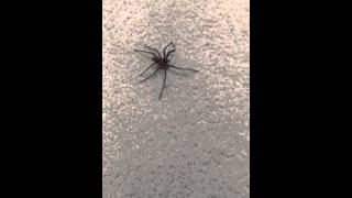 Hawaii Cane Spider - Not In My House!