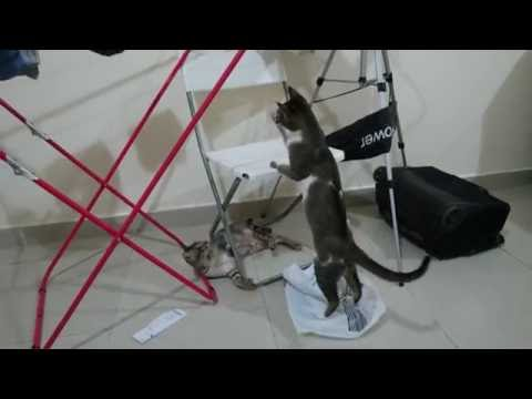 Playful cute cat chasing cat tail and attacking hanger in 4K UHD Slim Shady & Mimi