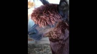 Alpaca Noise, SAFF 2011