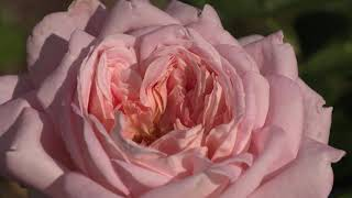 роза муриам  питомник роз полины козловой rozarium.biz