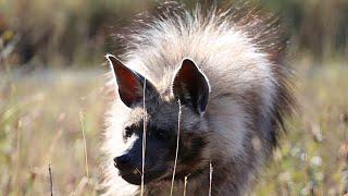 Удивила - гиена ест блины? Тайган. Surprised - does the hyena eat pancakes? Taigan.