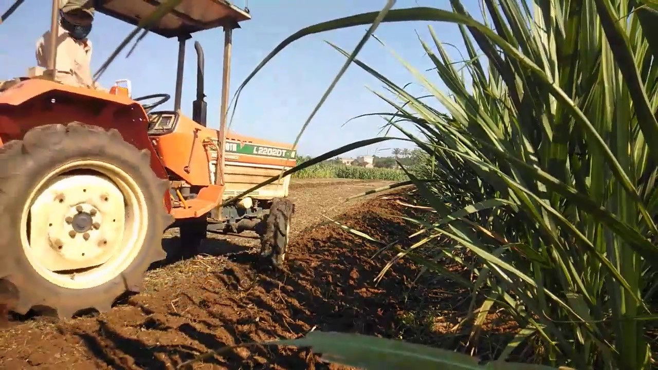 Ruộng ngô miền quê