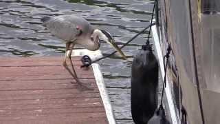 Le Grand Héron Bleu The Great Blue Heron fishing