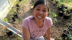 Punajuuri ja kumppanuus kasvit - Yrttimäki permakulttuuri