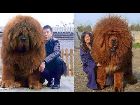Most EXPENSIVE Dogs In The World!