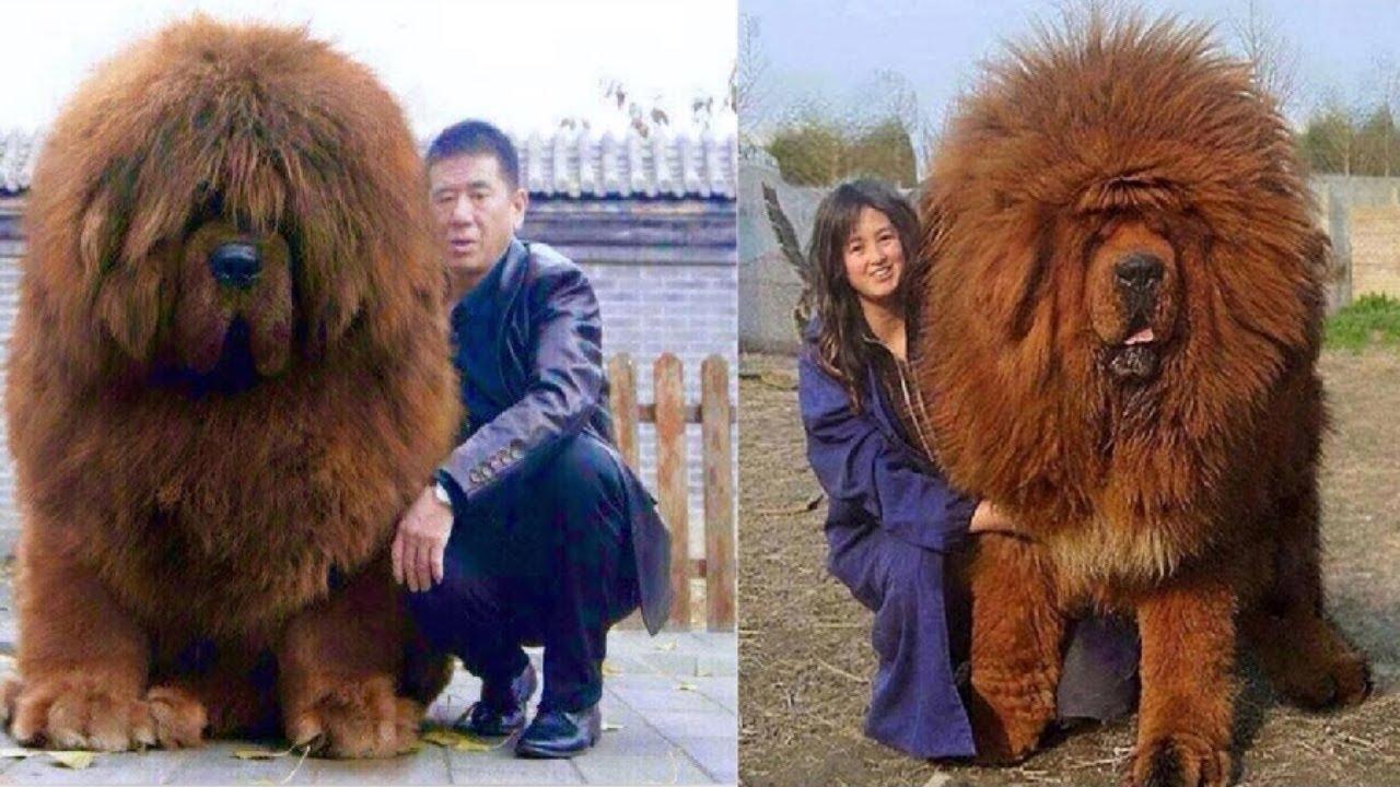 Image For Tibetan Mastiff Red