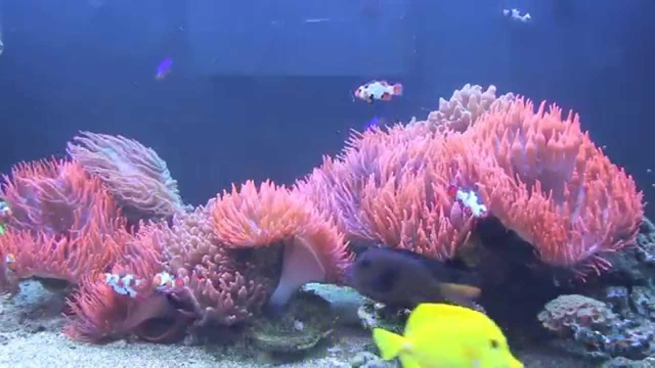 reef2reef spotlight marvinsreef clownfish