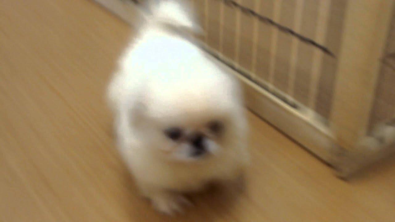 ペキニーズの赤ちゃん 仔犬ちゃん No1 Peki Farm ペキファーム
