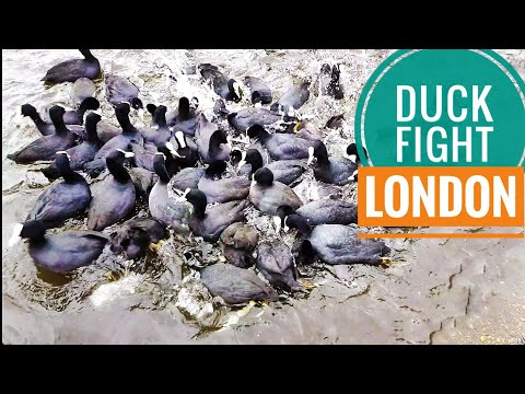 London birds | food fight at Buckingham Palace park| bird feeding