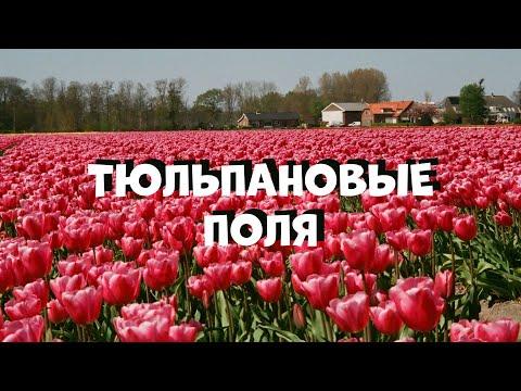DERBERTRAVEL | Тюльпановые поля. куда когда зачем?